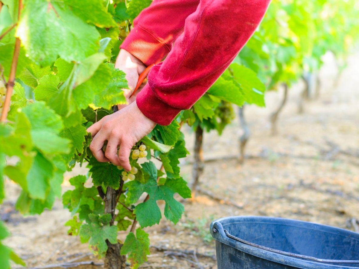 Disabili tra le vigne per promuovere l'inserimento lavorativo